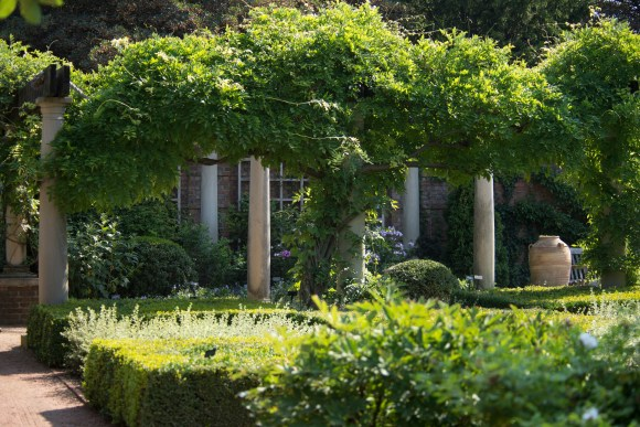 PHOTO: Preparing to bloom, morning glory vine creeps up the wisteria arbors of the English Walled Garden in midsummer.
