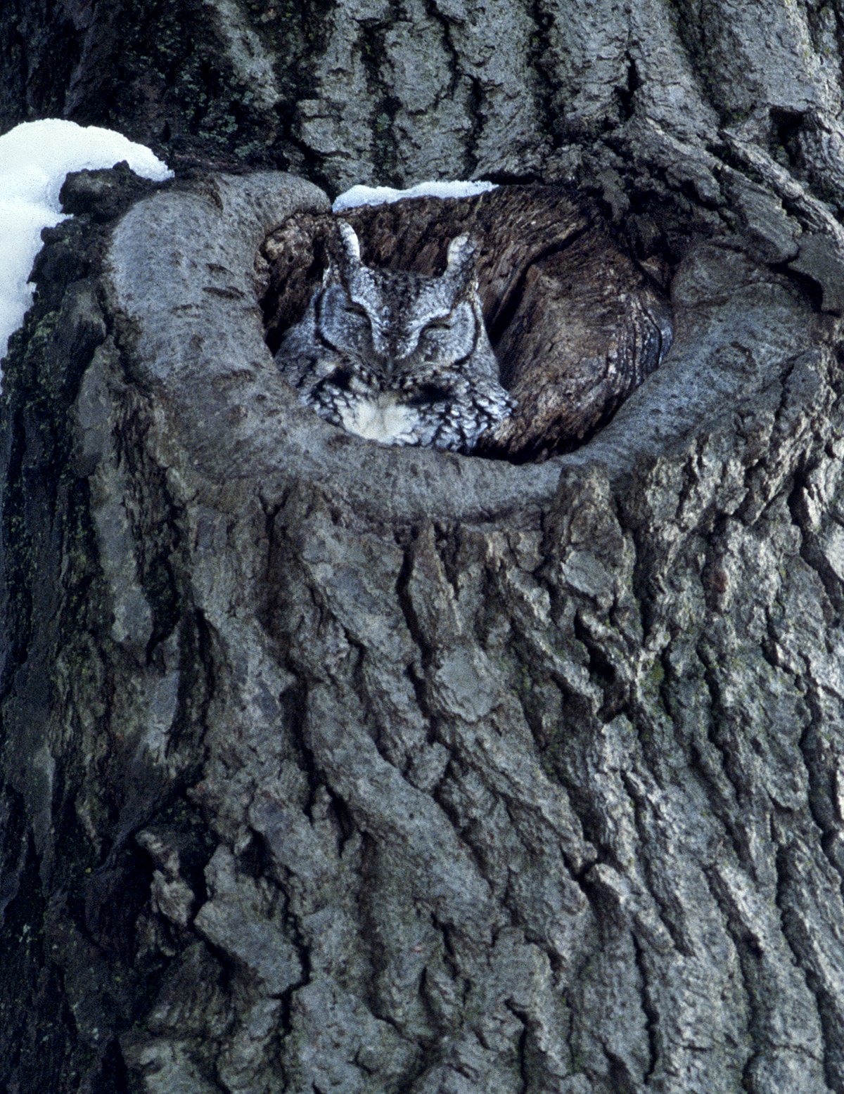 PHOTO: An eastern screech-owl snuggles in to its nest in winter. Photo