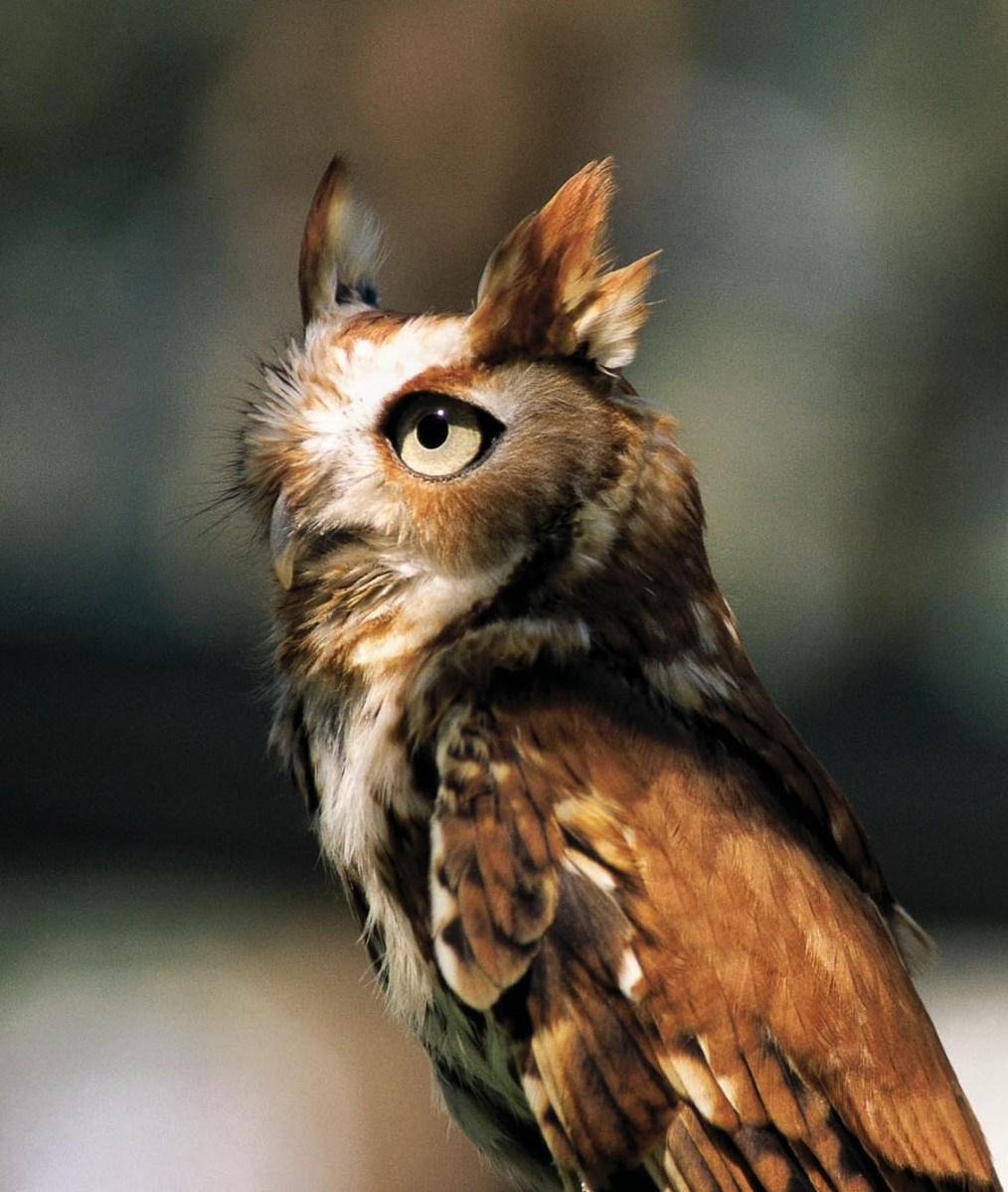 Eastern screech-owl: Tiny hunter of the night | My Chicago Botanic
