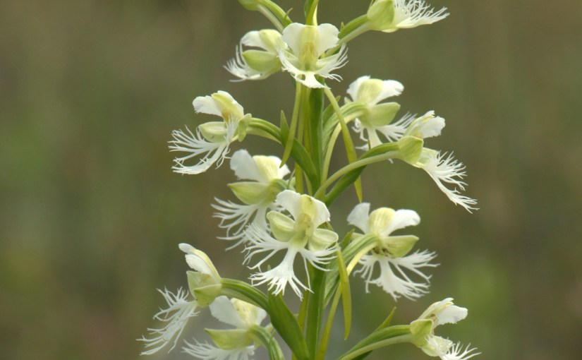 How Love and Science May Defend a Wild Orchid