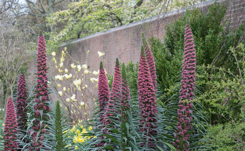 Echium 'Red Rocket'