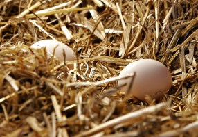 PHOTO: Eggs in straw.