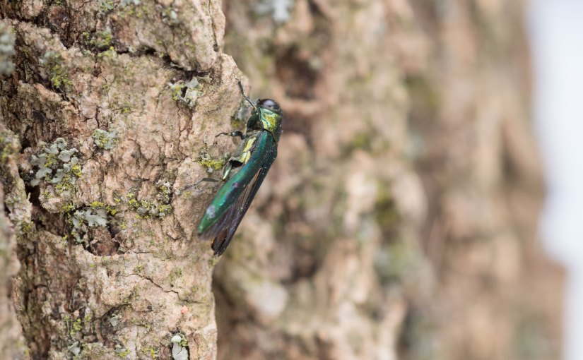 Emerald Ash Borer: Sad But True, Part 3