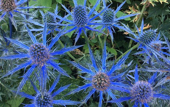 Blue sea holly (Eryngium planum)