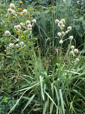 PHOTO: Rattlesnake master (Eryngium yuccifolium) with a co-occuring species.