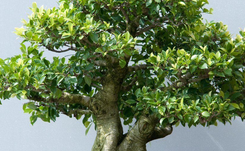 PHOTO: Ficus microcarpa bonsai.