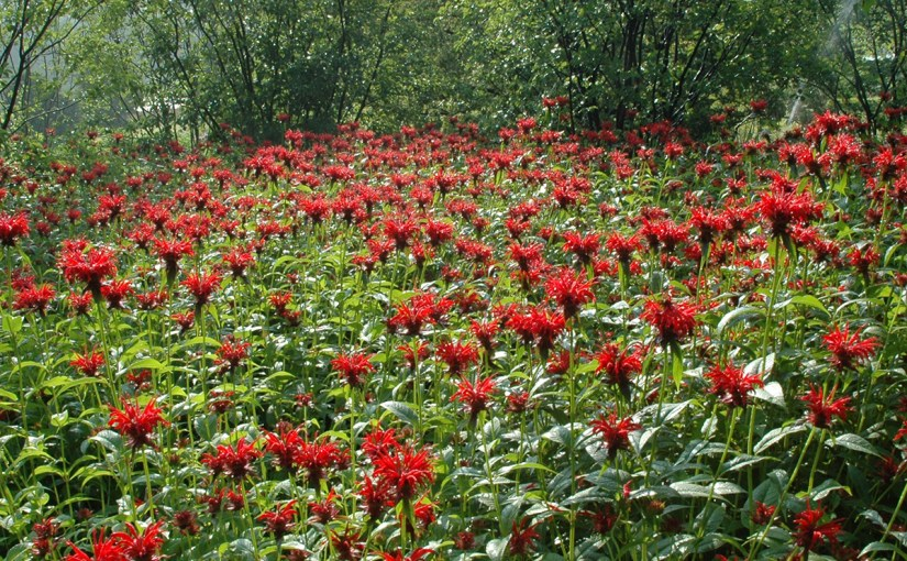 PHOTO: Field of Monarda (beebalm).
