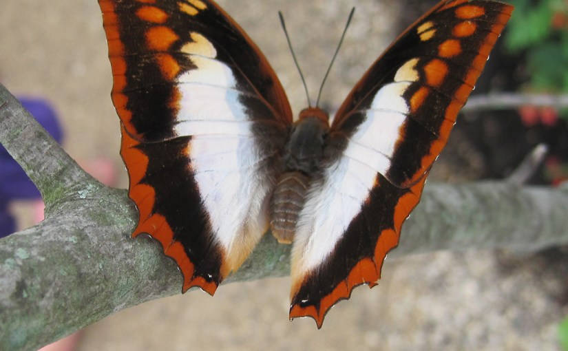 Flame-bordered Charaxes (Charaxes protoclea)