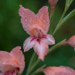 PHOTO: Gladiolus oppositiflorus ssp. salmoneus.