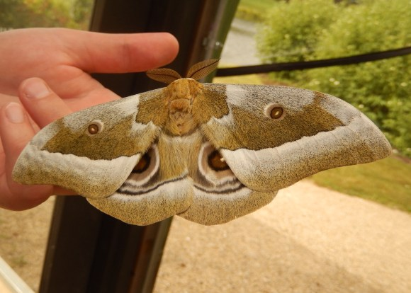 PHOTO: Dorsal view of the enormous African emperor moth (Gonimbrasia zambesina).