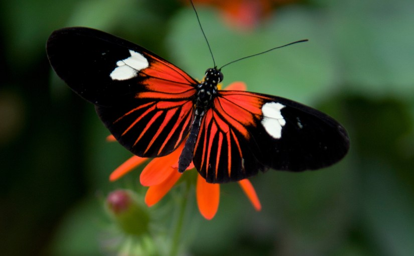 Heliconius: The Lovely Longwings