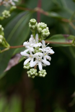 PHOTO: Heptacodium miconioides in flower