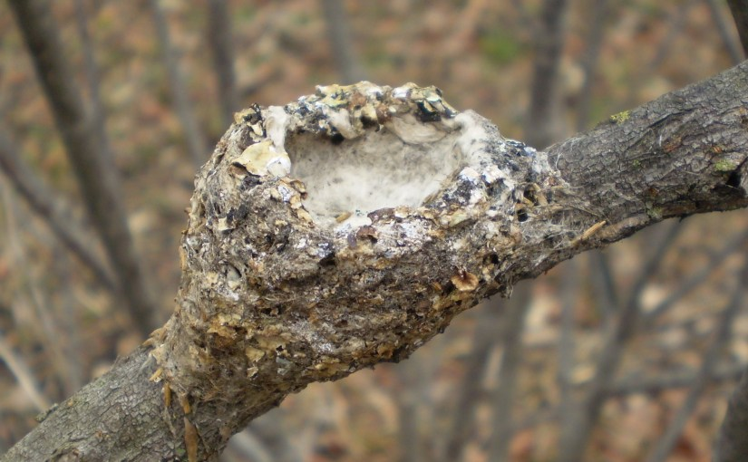 PHOTO: Hummingbird nest.