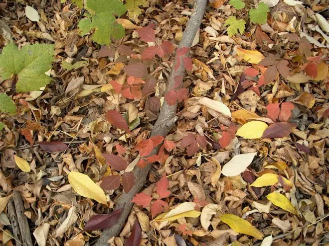 PHOTO: Poison ivy leaves are bright red on the forest floor, which is covered in brown and gold leaves fallen from the trees.
