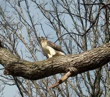 PHOTO: the red-tailed hawk is perched on a large oak tree limb after eating its second rodent.