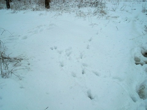 PHOTO: The tracks in the snow look like the coyote ran and make a circle in the snow.