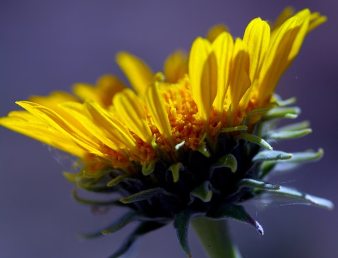 Side view of the silverleaf sunray flower.