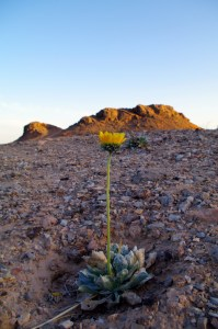 Silverleaf sunray on a barren hillside.