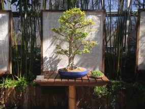 PHOTO: Crape myrtle (Lagerstroemia) bonsai.