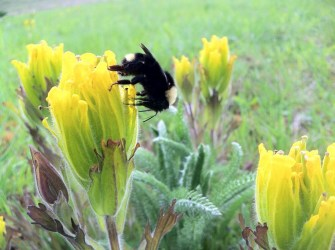 PHOTO: A golden paintbrush is visited by its primary pollinator, a bumblebee.