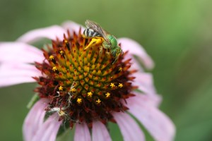 A native sweat bee collects pollen from a purple-leaved coneflower.