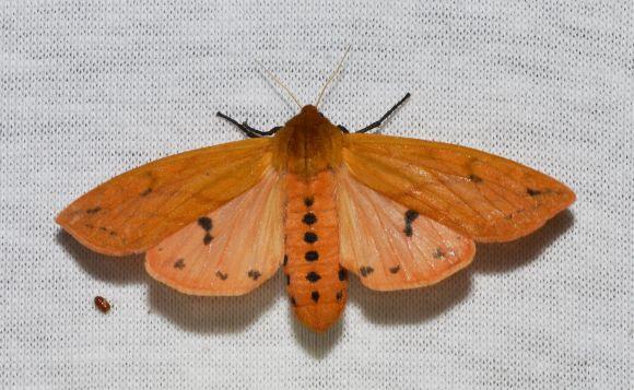 PHOTO: Isabella tiger moth (Pyrrharctia isabella).