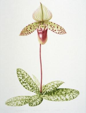 ILLUSTRATION: Lady's slipper orchid by Nancy Snyder.