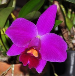 PHOTO: Laelia pumila 'Hawaii'