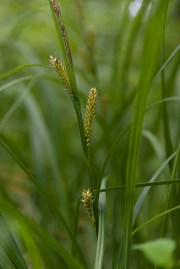 PHOTO: Lake sedge (Carex lacustris).