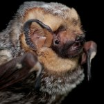 PHOTO: Lasiurus cinereus (hoary bat).