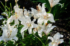 PHOTO: Lilium 'Sterling Star'.