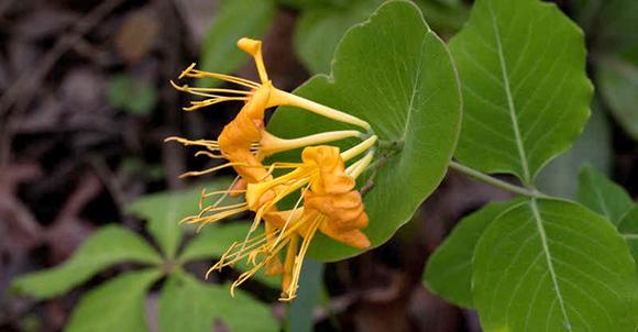 Lonicera flava honeysuckle is a fragrant and hardy variety.