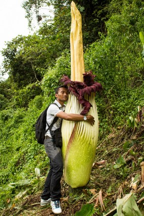 PHOTO: Titan arum (Amorphophallus titanum) in bloom in its native habitat in Sumatra. Photo © Luke Mackin/Wild Sumatra