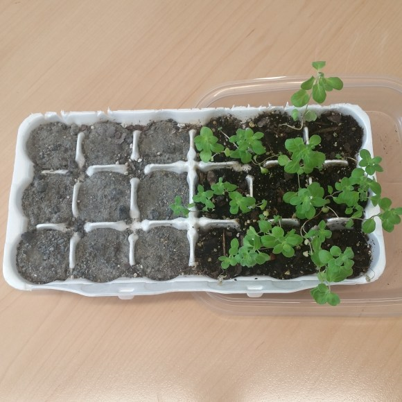 The same 18 cell egg carton now has nine Martian soil cells with no plants and nine cells with healthy marjoram growing in Earth potting soil.