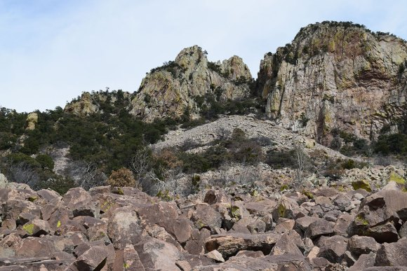 Quaking aspen growing out of the boulder field below Emory Peak, Big Bend National Park (white trunks visible in foreground)