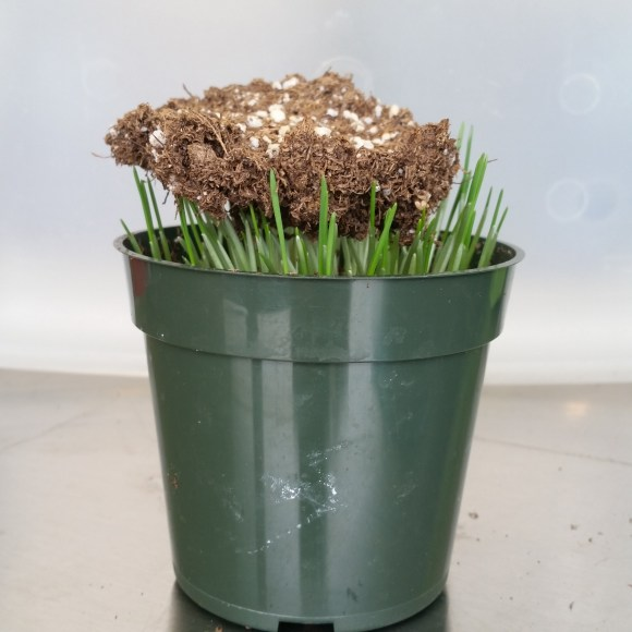 PHOTO: The wheat leaves have grown to an inch over the pot and are holding up a disk of soil.