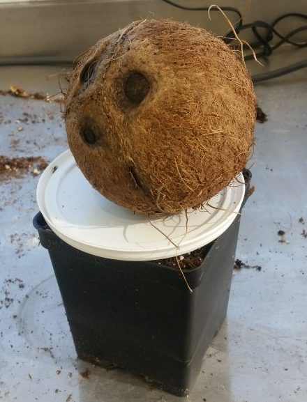 PHOTO: a 6 inch square pot is topped with a round plastic lid and a coconut.