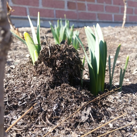 PHOTO: Daffodil leaves have pushed through the mulch, lifting it off the ground.