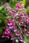 Oncidium Sharry Baby 'Sweet Fragrance'