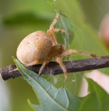 PHOTO: Closeup of an orb weaver spider.