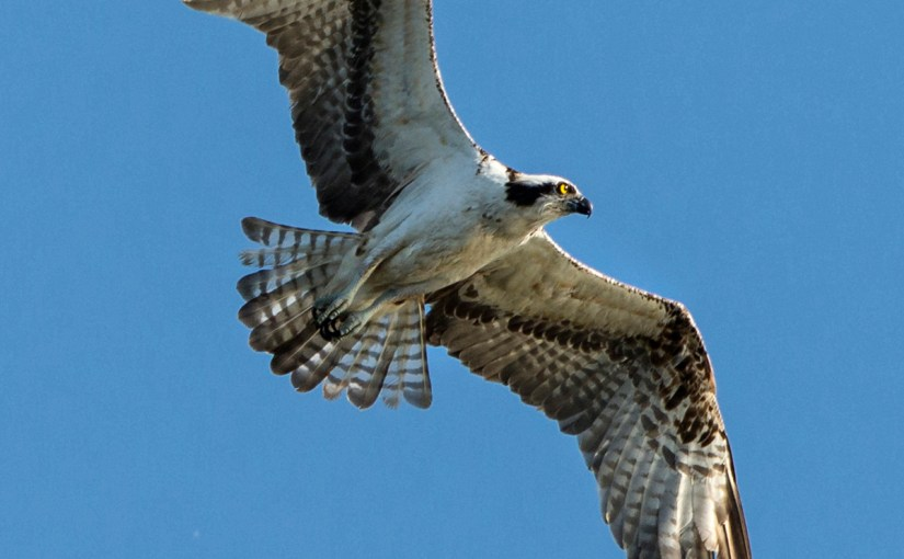 Osprey: Fish-eater returns as breeder in Cook County