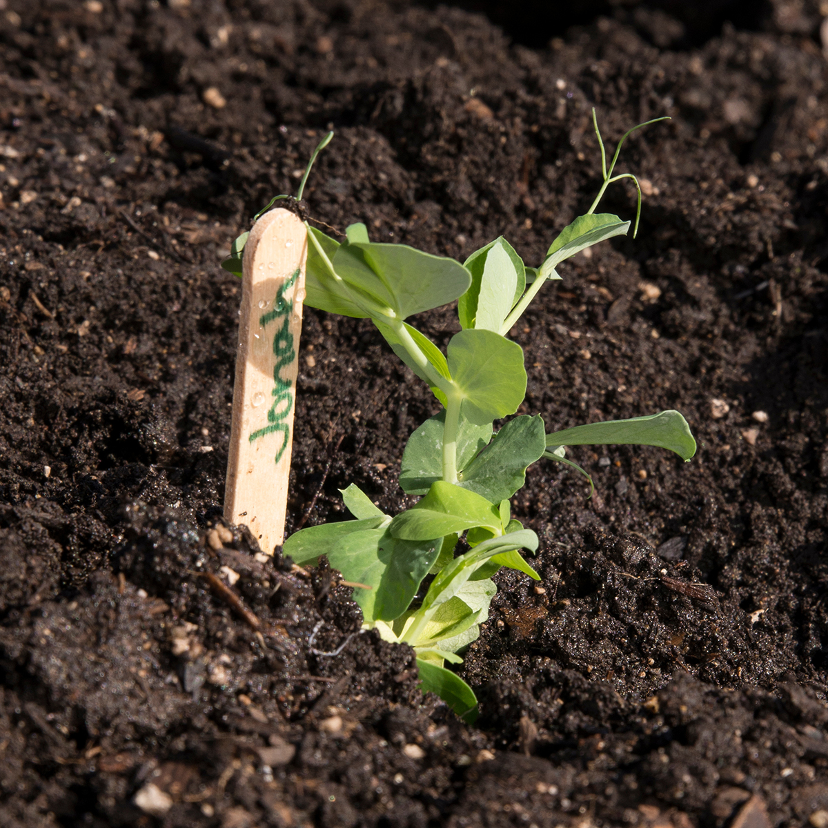 Growing Garden Peas: Easy Peas-y: Planting Pea Seeds With Little Sprouts