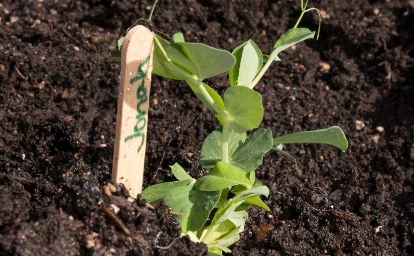 Easy Peas-y: Planting Pea Seeds with Little Sprouts