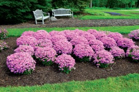 PHOTO: A bed of a dozen plantings of Forever Pink phlox in full bloom.