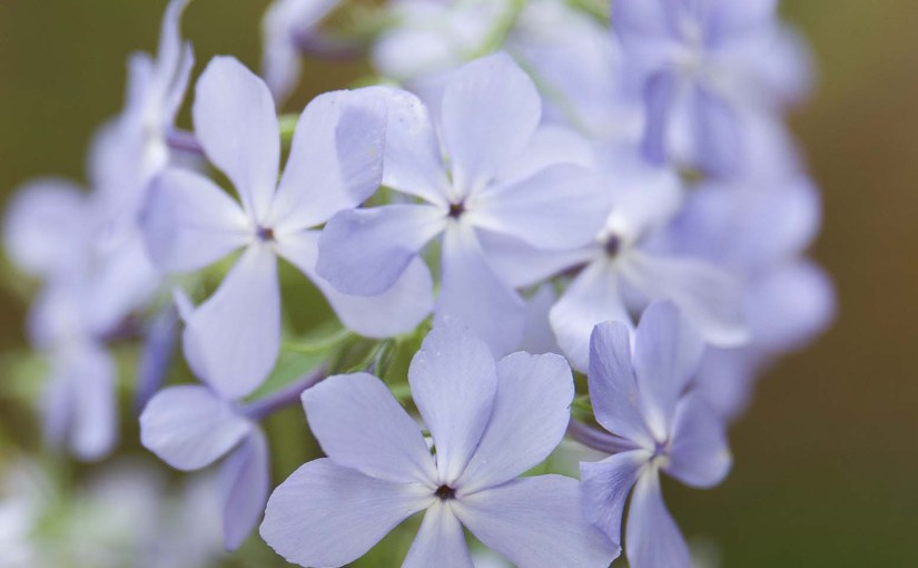 PHOTO: Phlox divaricata 'Blue Moon'.