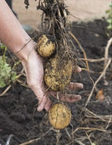 PHOTO: Potato harvest.