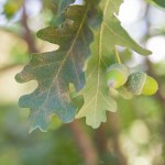 English oak (Quercus robur 'Fastigiata')