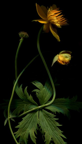 PHOTO: Ranunculus repens photographed by Laurie Tennent.