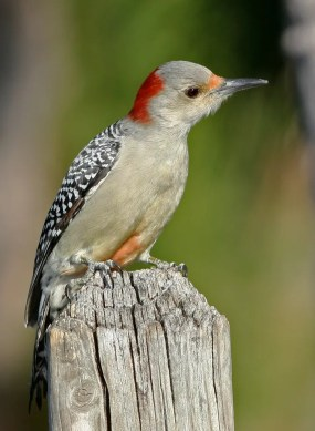 PHOTO: Female red-bellied woodpecker.