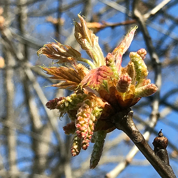Red oak (Quercus rubra) leaves emerging